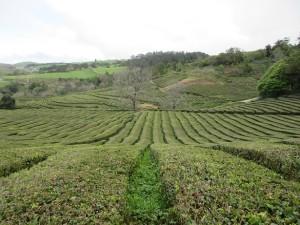 Jediné čajové plantáže v Evropě