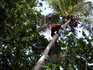 Animátor Solo leze na strom pro kokosy.