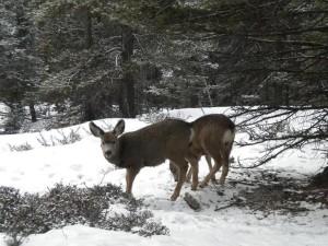 Srnky v Banffu, tady jsou sice focené v přírodě, ale ve městě chodily i po přechodech.