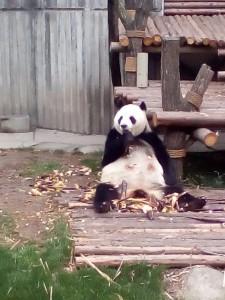 Pan panda, co žere bambus.