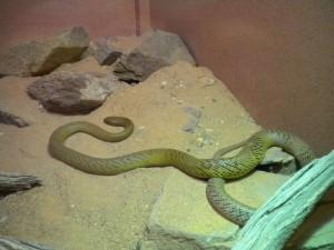 Nejjedovatější had na světě. V blízkosti lidí se ale nevyskytuje.