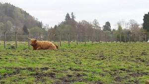 Vlasaté krávy jsou typické pro Skotsko